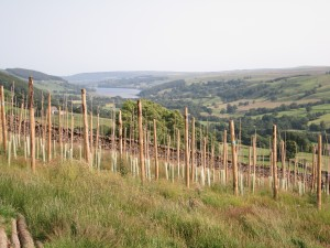 Northerly English vineyard