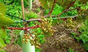grape5