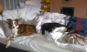 Dogs on bed - univited