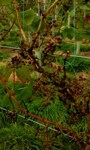 grapes from July 2014