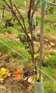 grapes in November