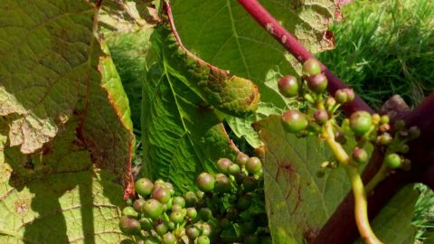 Vineyard 44 :  we have grapes – again. Can we keep them?