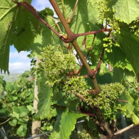 Vineyard 50 : some cause for celebration?